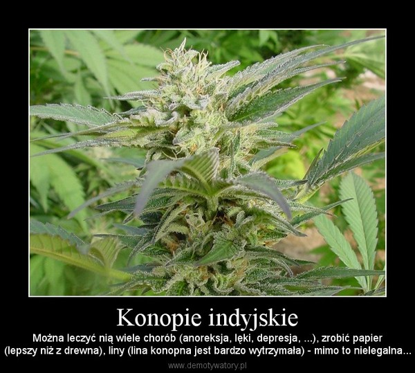 Konopie indyjskie – Można leczyć nią wiele chorób (anoreksja, lęki, depresja, ...), zrobić papier(lepszy niż z drewna), liny (lina konopna jest bardzo wytrzymała) - mimo to nielegalna...