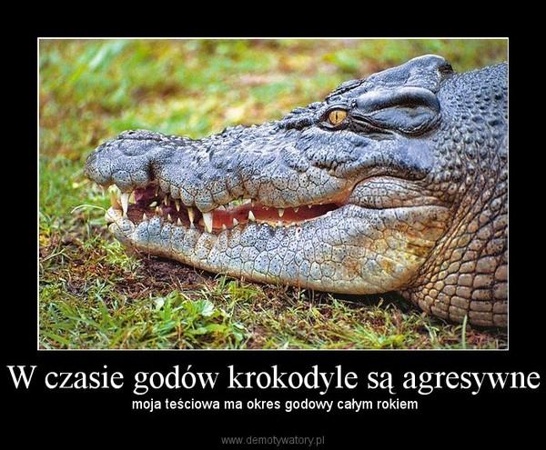 W czasie godów krokodyle są agresywne –  moja teściowa ma okres godowy całym rokiem