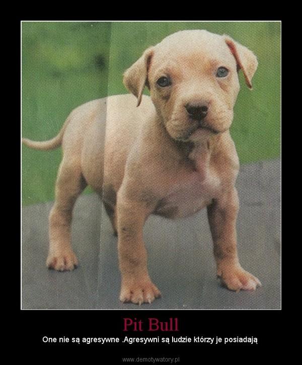 Pit Bull – One nie są agresywne .Agresywni są ludzie którzy je posiadają