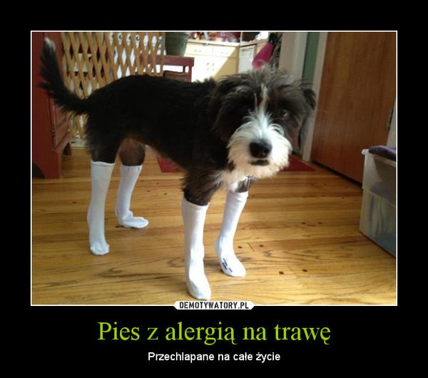 Pies z alergią na trawę – Przechlapane na całe życie