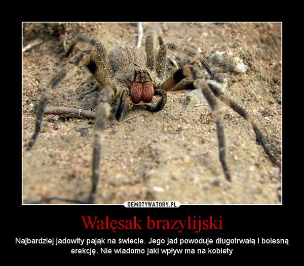 Wałęsak brazylijski – Najbardziej jadowity pająk na świecie. Jego jad powoduje długotrwałą i bolesną erekcję. Nie wiadomo jaki wpływ ma na kobiety
