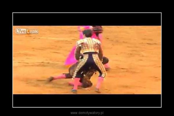 Matador zaatakowany przez byka –