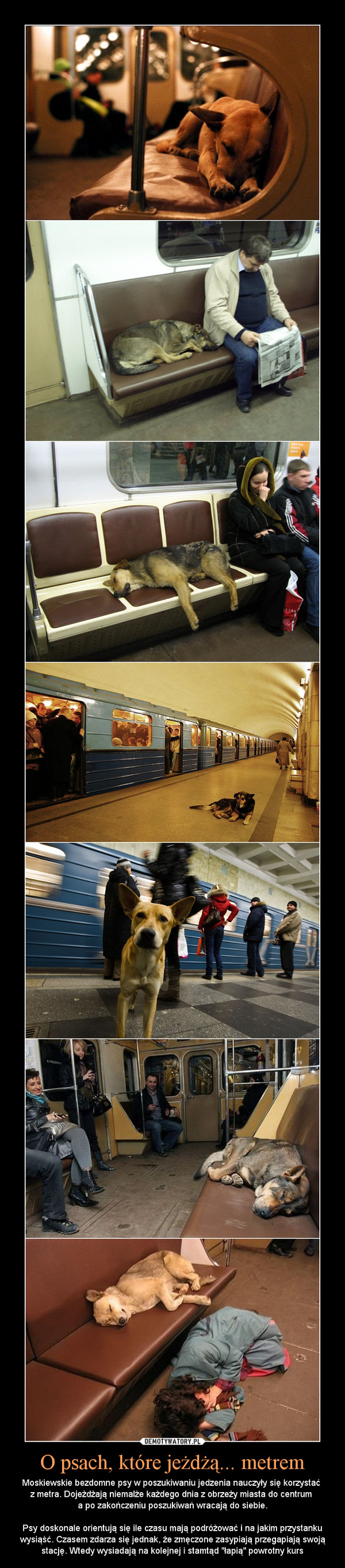 """O psach, które jeżdżą... metrem – Moskiewskie bezdomne psy w poszukiwaniu jedzenia nauczyły się korzystać z metra. Dojeżdżają niemalże każdego dnia z obrzeży miasta do centrum a po zakończeniu poszukiwań wracają do siebie.Psy doskonale orientują się ile czasu mają podróżować i na jakim przystanku wysiąść. Czasem zdarza się jednak, że zmęczone zasypiają przegapiają swoją stację. Wtedy wysiadają na kolejnej i stamtąd """"łapią"""" powrotny kurs"""