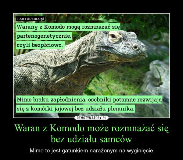 Waran z Komodo może rozmnażać się bez udziału samców – Mimo to jest gatunkiem narażonym na wyginięcie