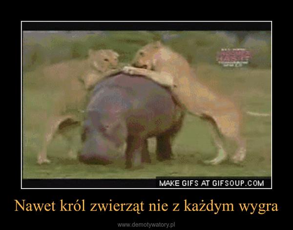 Nawet król zwierząt nie z każdym wygra –