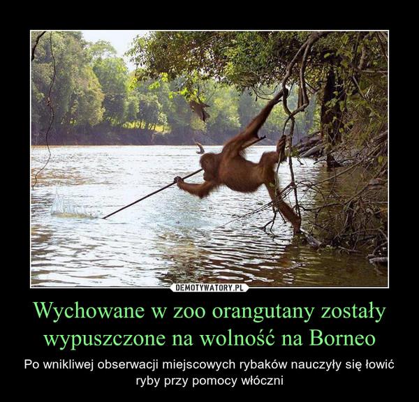 Wychowane w zoo orangutany zostały wypuszczone na wolność na Borneo – Po wnikliwej obserwacji miejscowych rybaków nauczyły się łowić ryby przy pomocy włóczni