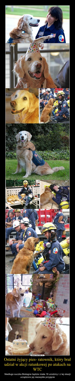 Ostatni żyjący pies- ratownik, który brał udział w akcji ratunkowej po atakach na WTC – Niedługo suczka Bretagne będzie miała 16 urodziny i z tej okazji urządzono jej niezwykłe przyjęcie