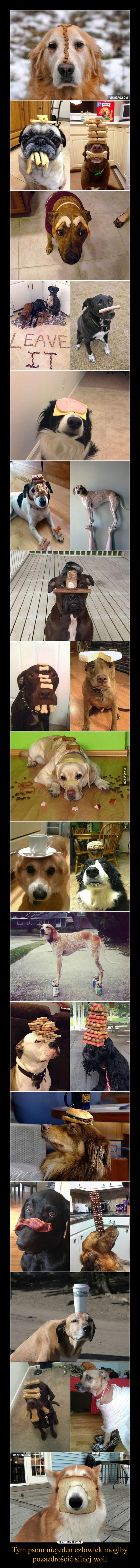 Tym psom niejeden człowiek mógłby pozazdrościć silnej woli –