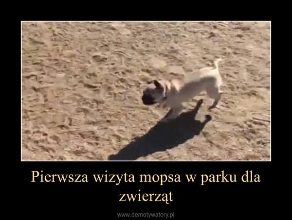 Pierwsza wizyta mopsa w parku dla zwierząt –