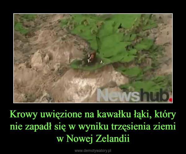 Krowy uwięzione na kawałku łąki, który nie zapadł się w wyniku trzęsienia ziemi w Nowej Zelandii –