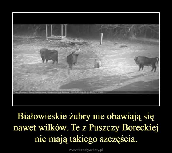 Białowieskie żubry nie obawiają się nawet wilków. Te z Puszczy Boreckiej nie mają takiego szczęścia. –