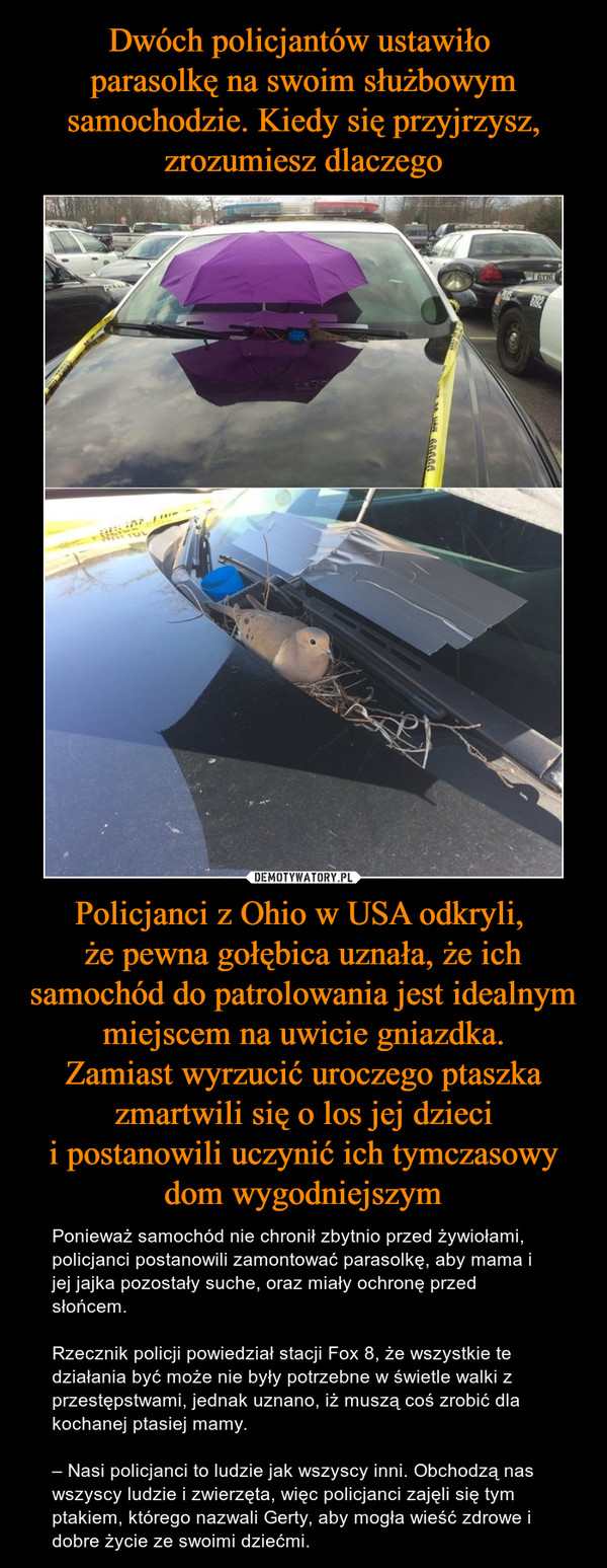 Policjanci z Ohio w USA odkryli, że pewna gołębica uznała, że ich samochód do patrolowania jest idealnymmiejscem na uwicie gniazdka.Zamiast wyrzucić uroczego ptaszka zmartwili się o los jej dziecii postanowili uczynić ich tymczasowy dom wygodniejszym – Ponieważ samochód nie chronił zbytnio przed żywiołami, policjanci postanowili zamontować parasolkę, aby mama i jej jajka pozostały suche, oraz miały ochronę przed słońcem.Rzecznik policji powiedział stacji Fox 8, że wszystkie te działania być może nie były potrzebne w świetle walki z przestępstwami, jednak uznano, iż muszą coś zrobić dla kochanej ptasiej mamy.– Nasi policjanci to ludzie jak wszyscy inni. Obchodzą nas wszyscy ludzie i zwierzęta, więc policjanci zajęli się tym ptakiem, którego nazwali Gerty, aby mogła wieść zdrowe i dobre życie ze swoimi dziećmi.
