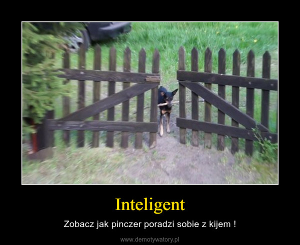 Inteligent – Zobacz jak pinczer poradzi sobie z kijem !