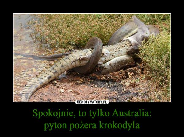 Spokojnie, to tylko Australia:pyton pożera krokodyla –