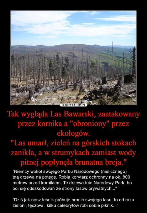 """Tak wygląda Las Bawarski, zaatakowany przez kornika a """"obroniony"""" przez ekologów. """"Las umarł, zieleń na górskich stokach zanikła, a w strumykach zamiast wody pitnej popłynęła brunatna breja."""""""