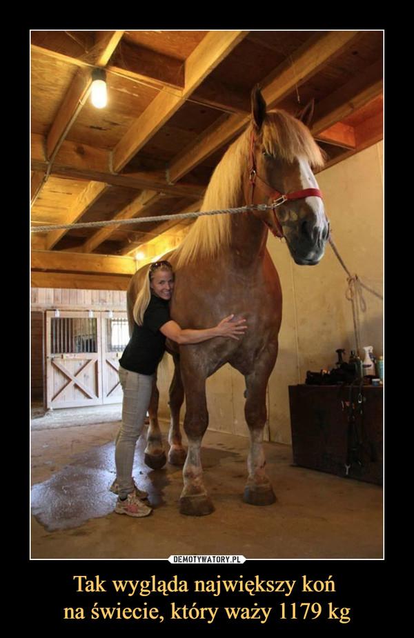 Tak wygląda największy koń na świecie, który waży 1179 kg –