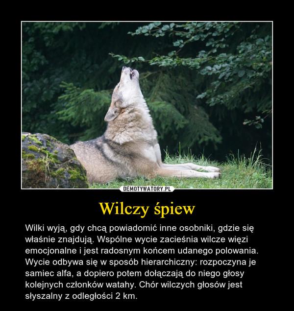 Wilczy śpiew – Wilki wyją, gdy chcą powiadomić inne osobniki, gdzie się właśnie znajdują. Wspólne wycie zacieśnia wilcze więzi emocjonalne i jest radosnym końcem udanego polowania. Wycie odbywa się w sposób hierarchiczny: rozpoczyna je samiec alfa, a dopiero potem dołączają do niego głosy kolejnych członków watahy. Chór wilczych głosów jest słyszalny z odległości 2 km.