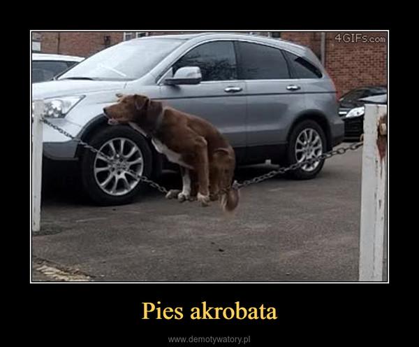Pies akrobata –