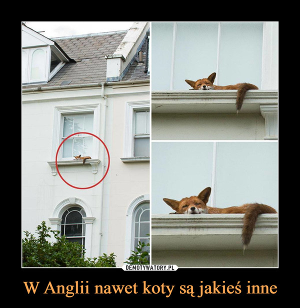 W Anglii nawet koty są jakieś inne –