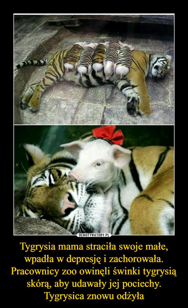 Tygrysia mama straciła swoje małe, wpadła w depresję i zachorowała. Pracownicy zoo owinęli świnki tygrysią skórą, aby udawały jej pociechy. Tygrysica znowu odżyła –