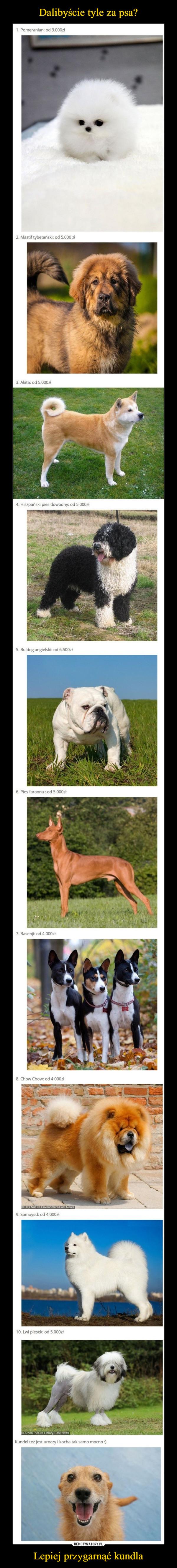 Lepiej przygarnąć kundla –  1. Pomeranian: od 3.000zł 2. Mastif tybetański: od 5.000 zł 3. Akita: od 5.000zł 4. Hiszpański pies dowodny: od 5.000zł 5. Buldog angielski: od 6.500zł 6. Pies faraona : od 5.000zł 7. Basenji: od 4.000zł 8. Chow Chow: od 4 000zi 9. Samoyed: od 4.000zł 10. Lwi piesek: od 5.000zł Dalibyście tyle za psa? Kundel też jest uroczy i kocha tak samo mocno :)