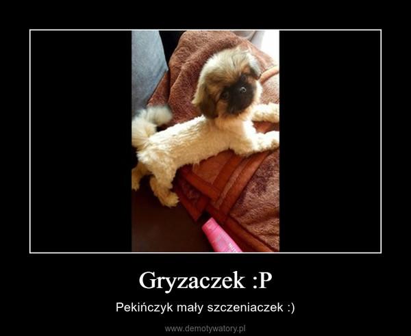 Gryzaczek :P – Pekińczyk mały szczeniaczek :)