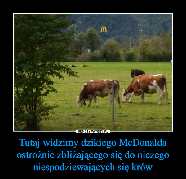 Tutaj widzimy dzikiego McDonalda ostrożnie zbliżającego się do niczego niespodziewających się krów –
