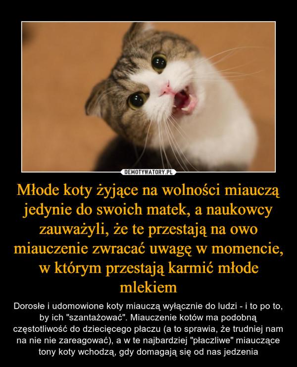 """Młode koty żyjące na wolności miauczą jedynie do swoich matek, a naukowcy zauważyli, że te przestają na owo miauczenie zwracać uwagę w momencie, w którym przestają karmić młode mlekiem – Dorosłe i udomowione koty miauczą wyłącznie do ludzi - i to po to, by ich """"szantażować"""". Miauczenie kotów ma podobną częstotliwość do dziecięcego płaczu (a to sprawia, że trudniej nam na nie nie zareagować), a w te najbardziej """"płaczliwe"""" miauczące tony koty wchodzą, gdy domagają się od nas jedzenia"""