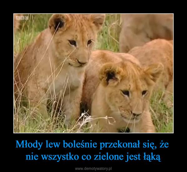 Młody lew boleśnie przekonał się, że nie wszystko co zielone jest łąką –