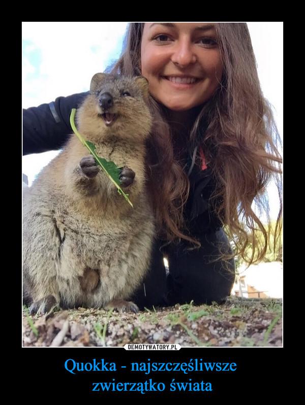 Quokka - najszczęśliwsze  zwierzątko świata