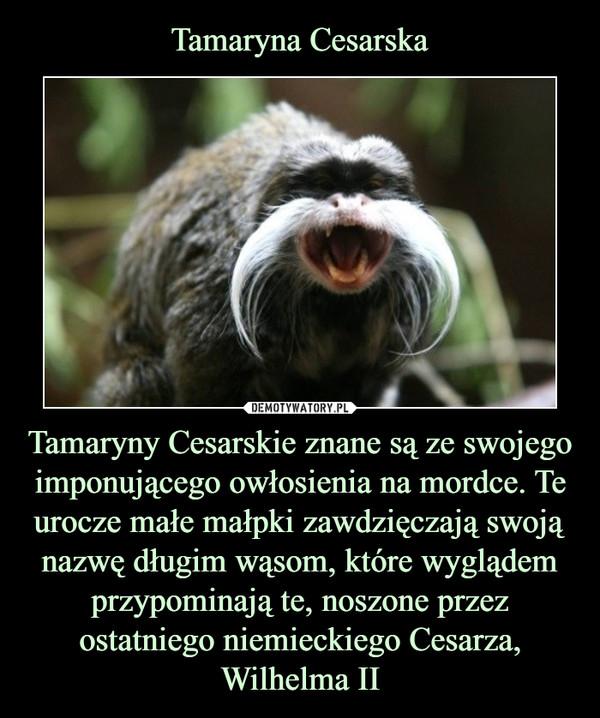 Tamaryny Cesarskie znane są ze swojego imponującego owłosienia na mordce. Te urocze małe małpki zawdzięczają swoją nazwę długim wąsom, które wyglądem przypominają te, noszone przez ostatniego niemieckiego Cesarza, Wilhelma II –