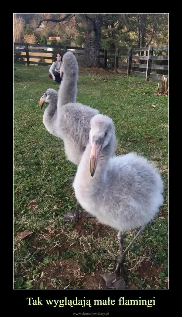 Tak wyglądają małe flamingi –