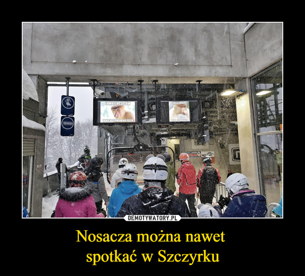 Nosacza można nawet spotkać w Szczyrku –