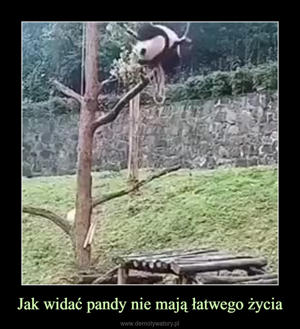 Jak widać pandy nie mają łatwego życia –