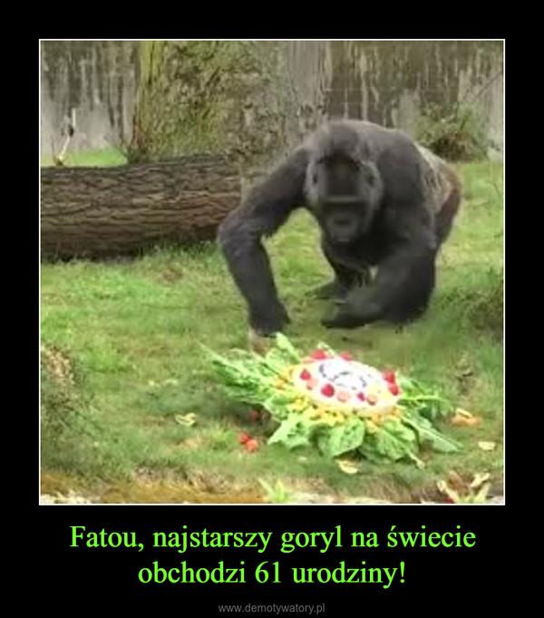 Fatou, najstarszy goryl na świecie obchodzi 61 urodziny! –