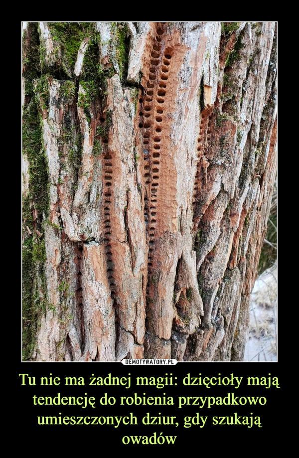 Tu nie ma żadnej magii: dzięcioły mają tendencję do robienia przypadkowo umieszczonych dziur, gdy szukają owadów –
