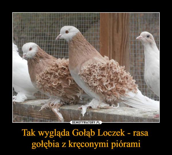 Tak wygląda Gołąb Loczek - rasa gołębia z kręconymi piórami –