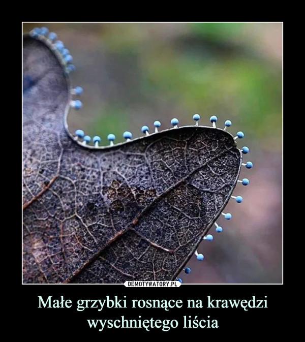 Małe grzybki rosnące na krawędzi wyschniętego liścia –