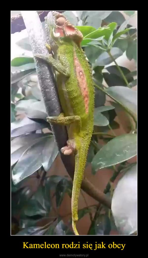 Kameleon rodzi się jak obcy –