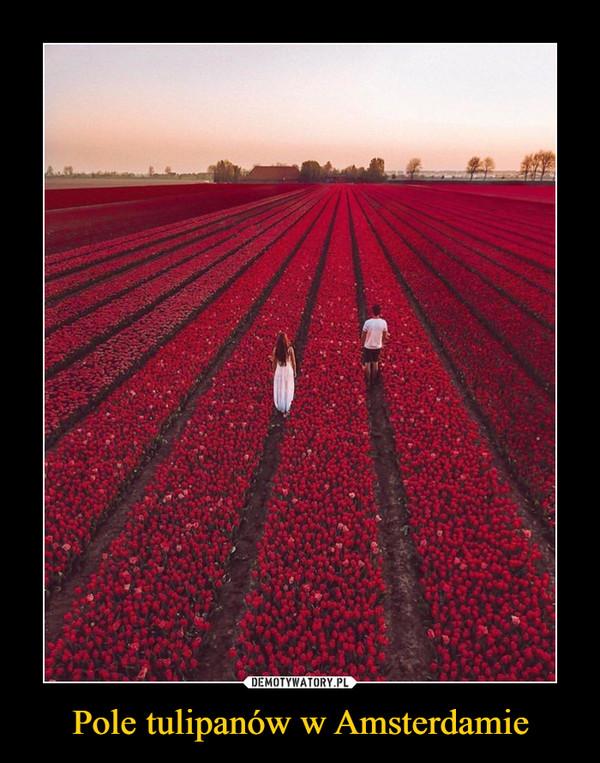 Pole tulipanów w Amsterdamie –