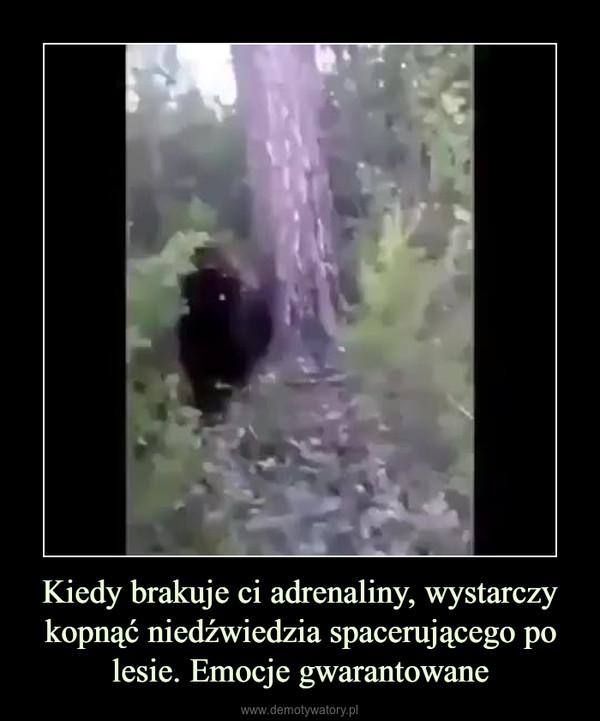 Kiedy brakuje ci adrenaliny, wystarczy kopnąć niedźwiedzia spacerującego po lesie. Emocje gwarantowane –