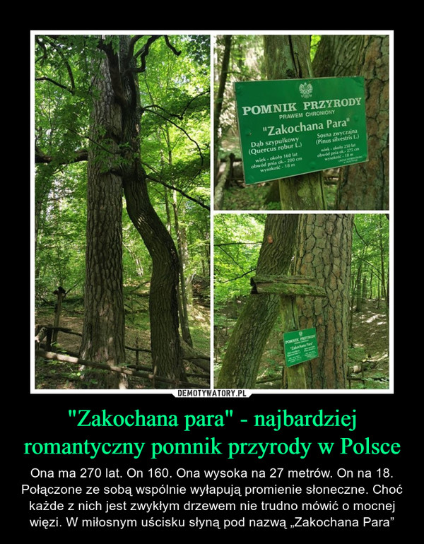 """""""Zakochana para"""" - najbardziej romantyczny pomnik przyrody w Polsce – Ona ma 270 lat. On 160. Ona wysoka na 27 metrów. On na 18. Połączone ze sobą wspólnie wyłapują promienie słoneczne. Choć każde z nich jest zwykłym drzewem nie trudno mówić o mocnej więzi. W miłosnym uścisku słyną pod nazwą """"Zakochana Para"""""""