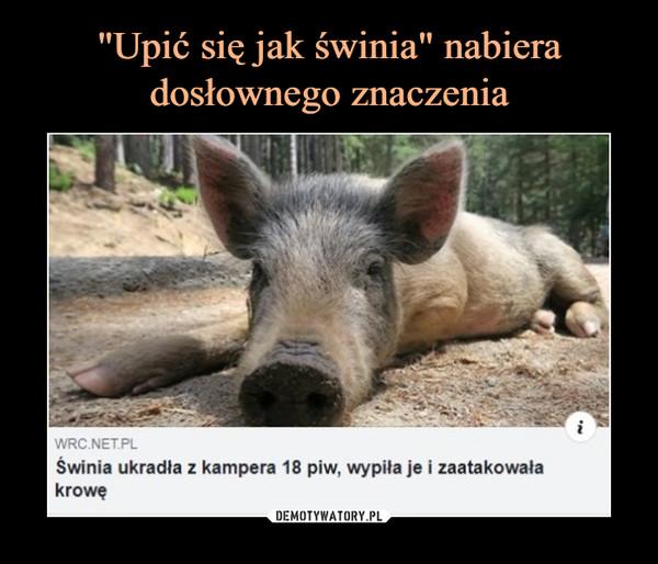 –  WRC.NET.PLŚwinia ukradła z kampera 18 piw, wypiła je i zaatakowała krowę