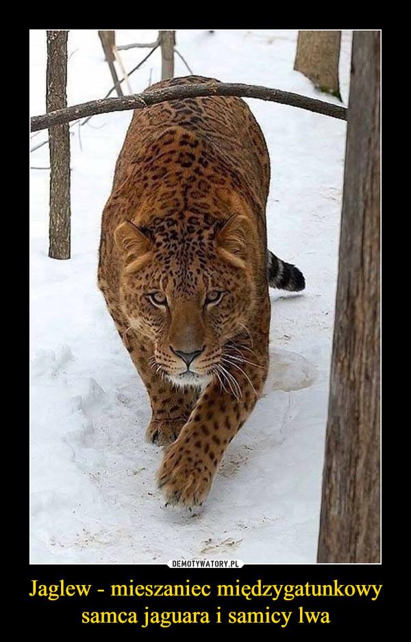 Jaglew - mieszaniec międzygatunkowy samca jaguara i samicy lwa –