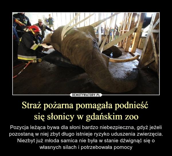 Straż pożarna pomagała podnieść się słonicy w gdańskim zoo – Pozycja leżąca bywa dla słoni bardzo niebezpieczna, gdyż jeżeli pozostaną w niej zbyt długo istnieje ryzyko uduszenia zwierzęcia. Niezbyt już młoda samica nie była w stanie dźwignąć się o własnych silach i potrzebowała pomocy