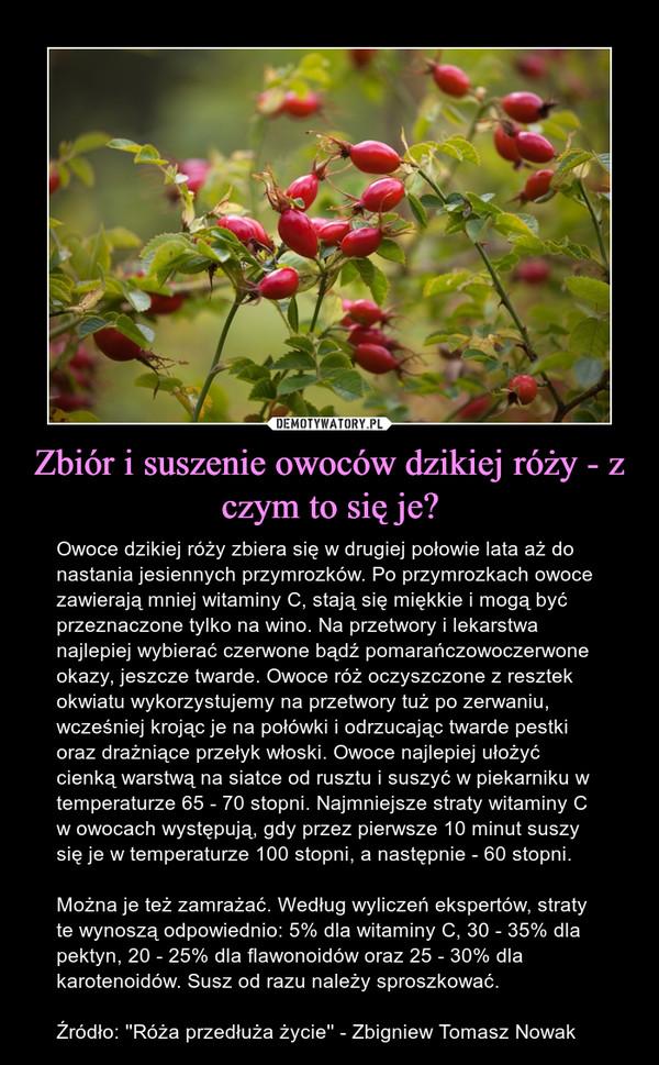 Zbiór i suszenie owoców dzikiej róży - z czym to się je? – Owoce dzikiej róży zbiera się w drugiej połowie lata aż do nastania jesiennych przymrozków. Po przymrozkach owoce zawierają mniej witaminy C, stają się miękkie i mogą być przeznaczone tylko na wino. Na przetwory i lekarstwa najlepiej wybierać czerwone bądź pomarańczowoczerwone okazy, jeszcze twarde. Owoce róż oczyszczone z resztek okwiatu wykorzystujemy na przetwory tuż po zerwaniu, wcześniej krojąc je na połówki i odrzucając twarde pestki oraz drażniące przełyk włoski. Owoce najlepiej ułożyć cienką warstwą na siatce od rusztu i suszyć w piekarniku w temperaturze 65 - 70 stopni. Najmniejsze straty witaminy C w owocach występują, gdy przez pierwsze 10 minut suszy się je w temperaturze 100 stopni, a następnie - 60 stopni. Można je też zamrażać. Według wyliczeń ekspertów, straty te wynoszą odpowiednio: 5% dla witaminy C, 30 - 35% dla pektyn, 20 - 25% dla flawonoidów oraz 25 - 30% dla karotenoidów. Susz od razu należy sproszkować.Źródło: ''Róża przedłuża życie'' - Zbigniew Tomasz Nowak