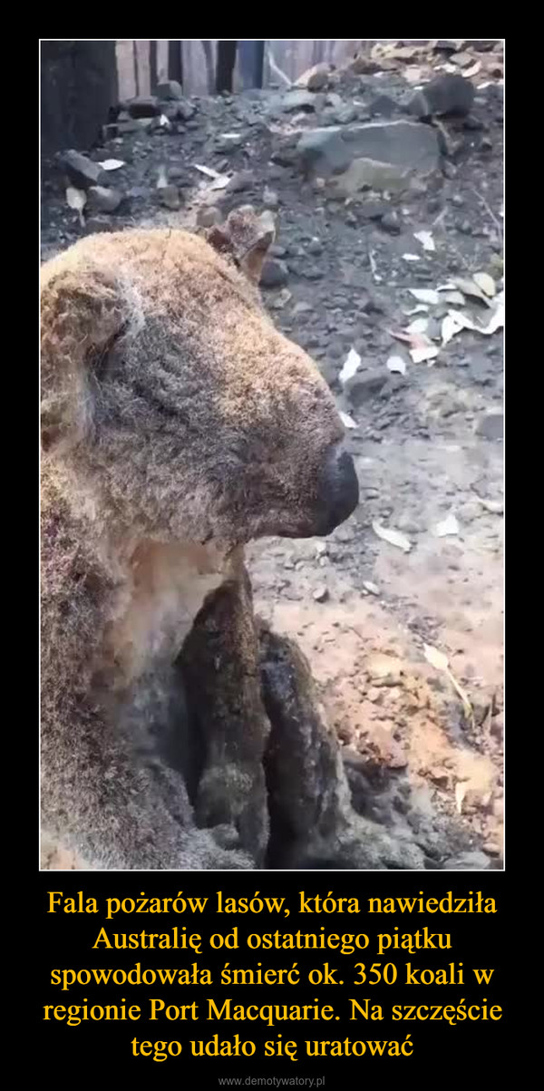 Fala pożarów lasów, która nawiedziła Australię od ostatniego piątku spowodowała śmierć ok. 350 koali w regionie Port Macquarie. Na szczęście tego udało się uratować –