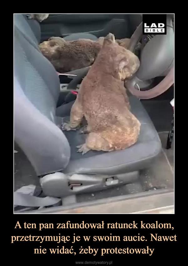 A ten pan zafundował ratunek koalom, przetrzymując je w swoim aucie. Nawet nie widać, żeby protestowały –