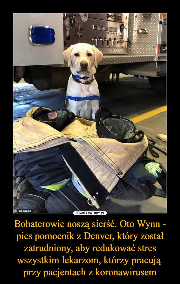 Bohaterowie noszą sierść. Oto Wynn - pies pomocnik z Denver, który został zatrudniony, aby redukować stres wszystkim lekarzom, którzy pracują przy pacjentach z koronawirusem –