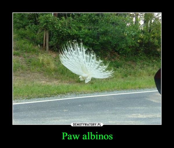 Paw albinos –